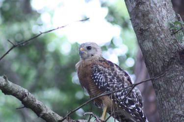 Hawk Watching me