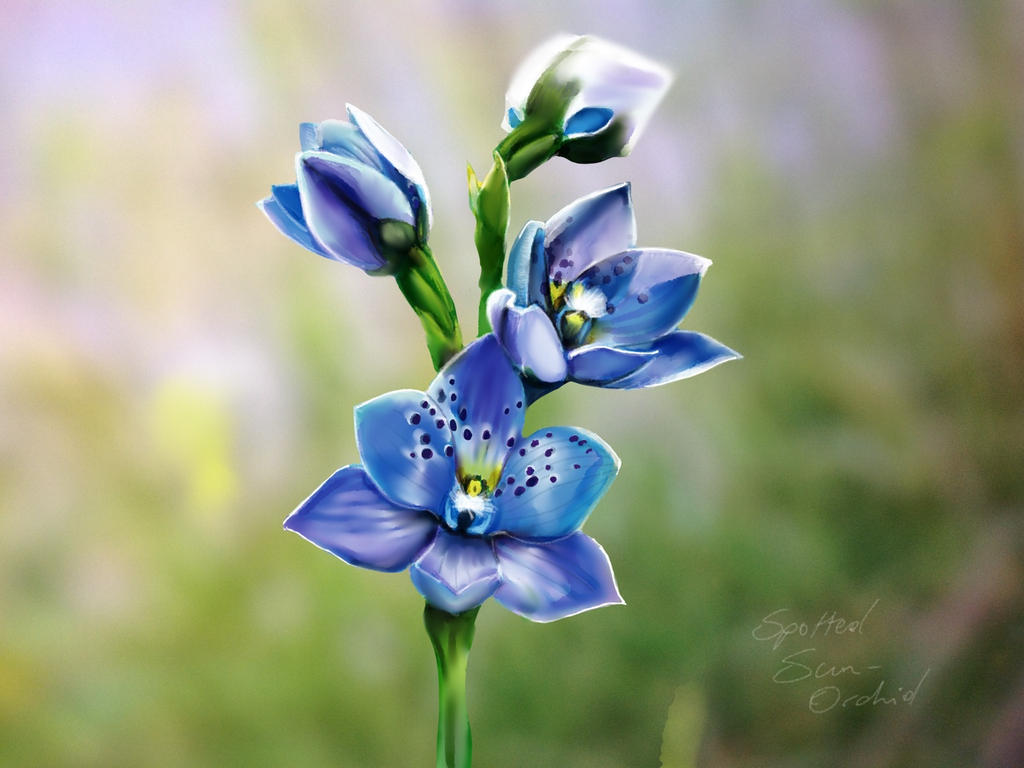 Spotted Sun Orchid by ceredwyn