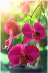 shine orchid by paustinus