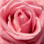 Pink Mist