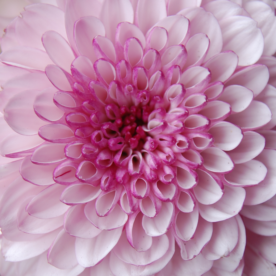 Pink Petals by Vixxybo