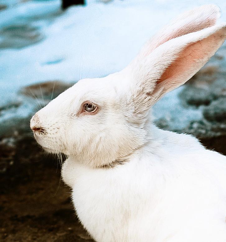 white rabbit by KYAV