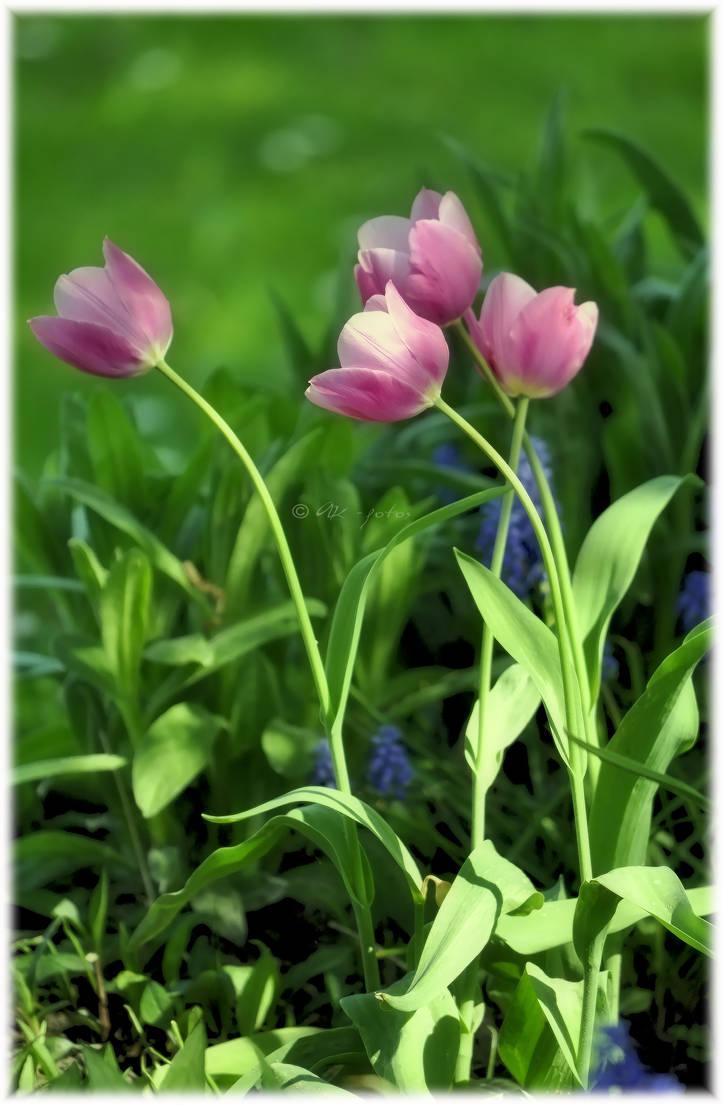 Tulips by ak-fotos