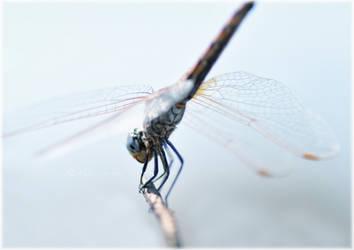 Odonata by ak-fotos