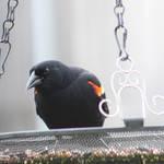 Red Wing Blackbird II