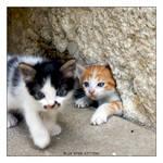 Blue Eyed Kittens