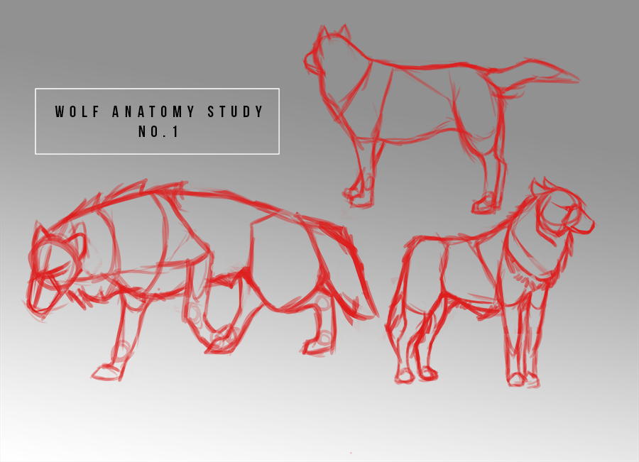 Wolf Anatomy Studies I by Lunaryll on DeviantArt