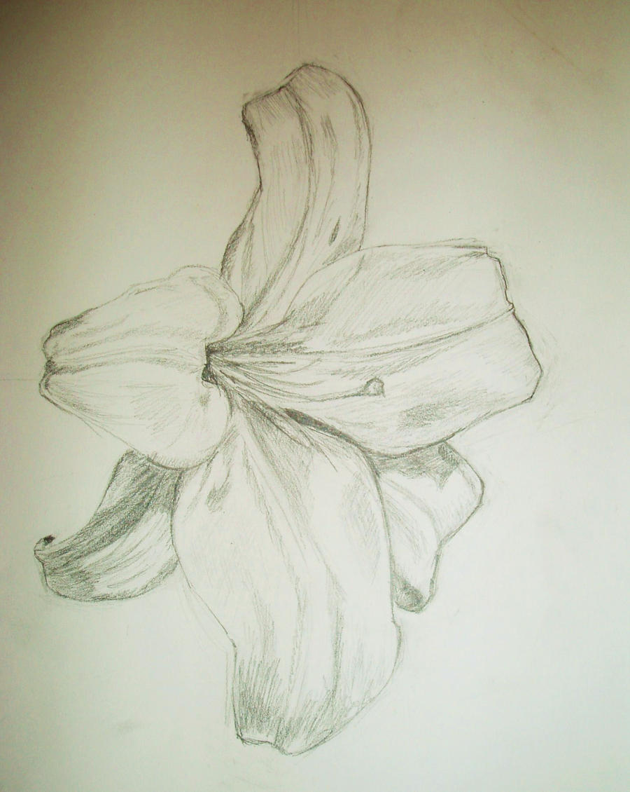 Lily Pencil Drawings Pencil Sketches of Lilies