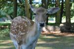 Deer looking at me by Syrinasaphir