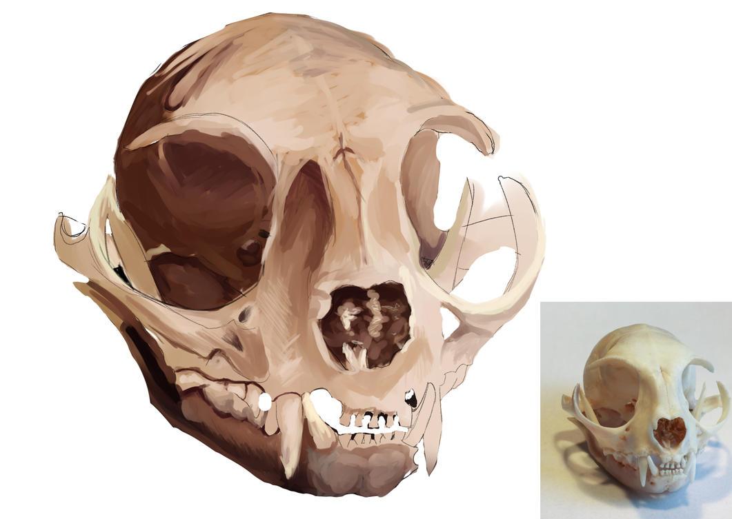 Skull study by Flixg