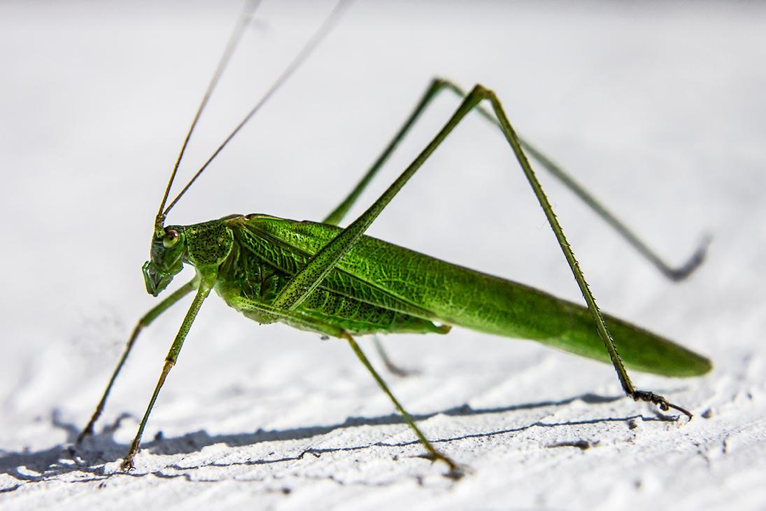 Grasshopper by b3dnar