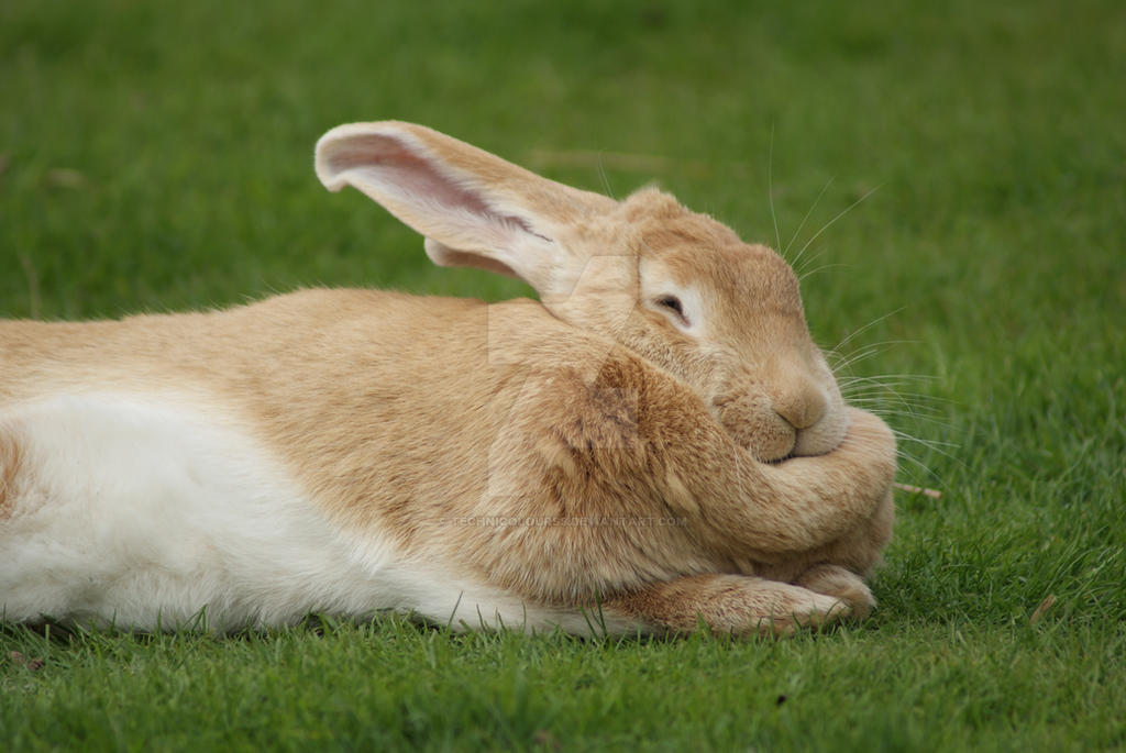 Rabbit Fat 120