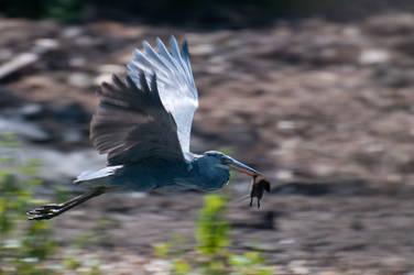Big Bird by tsuketoe