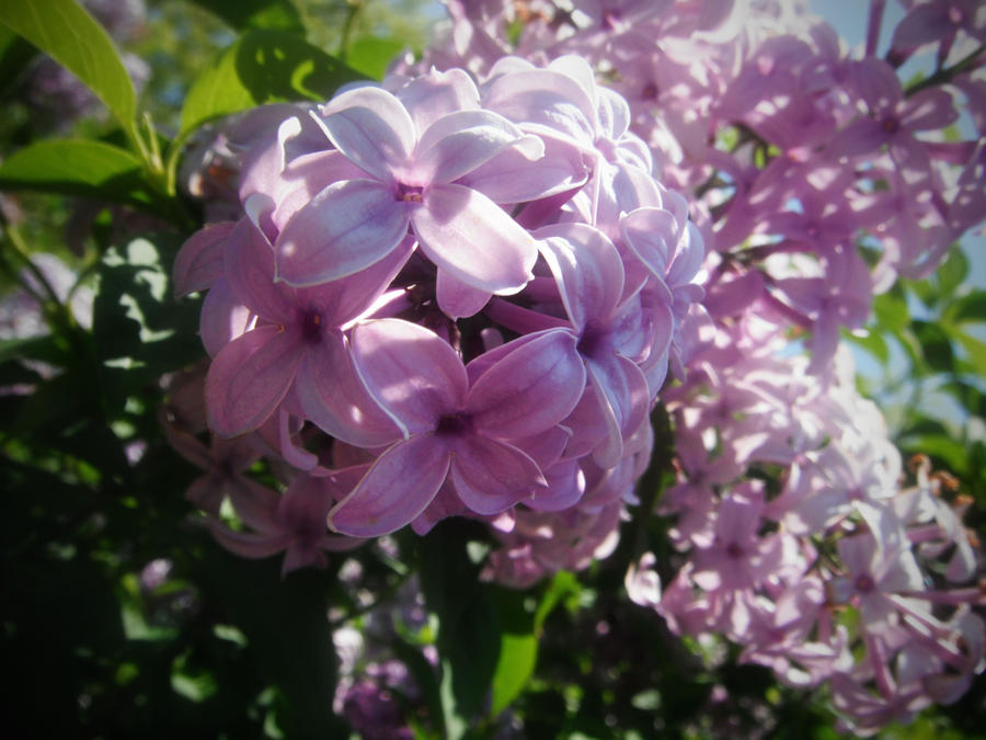 lovely lilacs by mysteriousfantasy