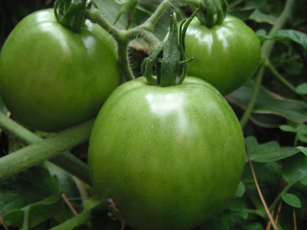 green tomatoes by mysteriousfantasy
