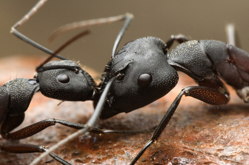 ants by buleria
