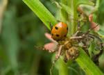 Crabspider with a ladybug by buleria