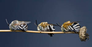 Solitary bee III by buleria