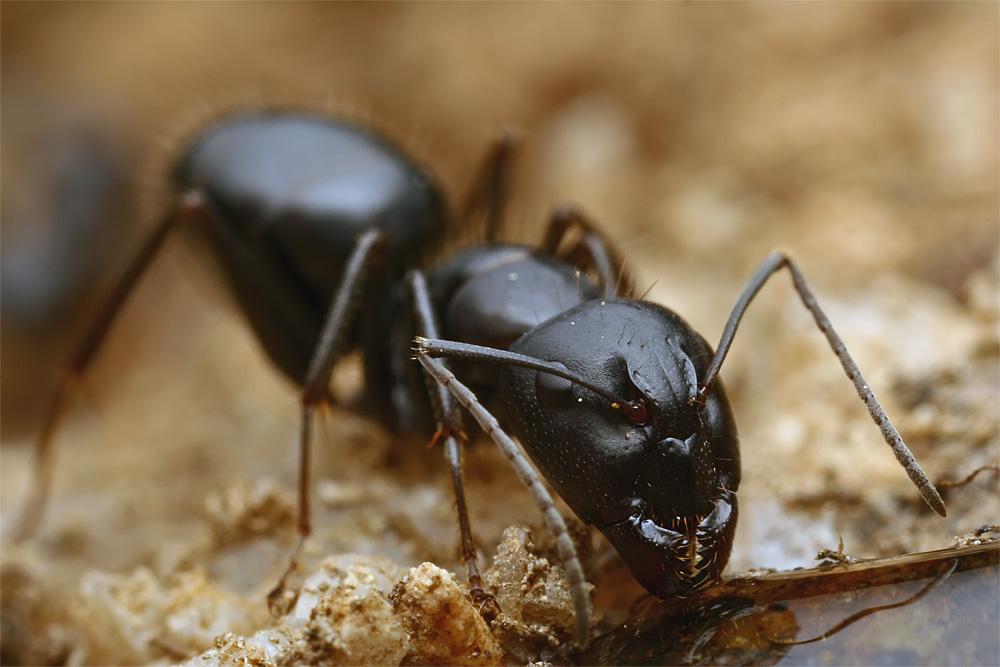 Black Camponotus II by buleria