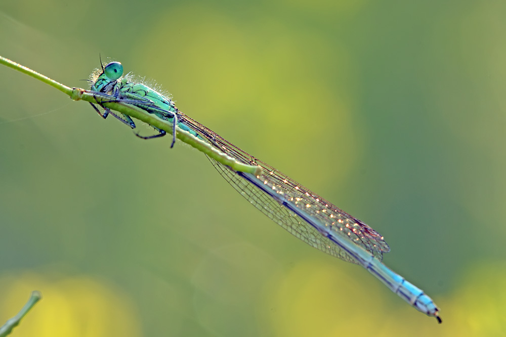 Morning damselfly by buleria