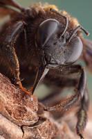 Xilocopa Violacea by buleria