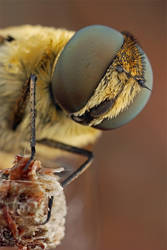 Mp-E beefly portrait by buleria