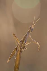Flares mantis by buleria