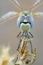 Blue eyes dragonfly by buleria