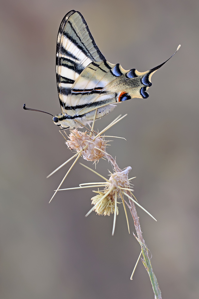 Iphiclides feisthamelii by buleria