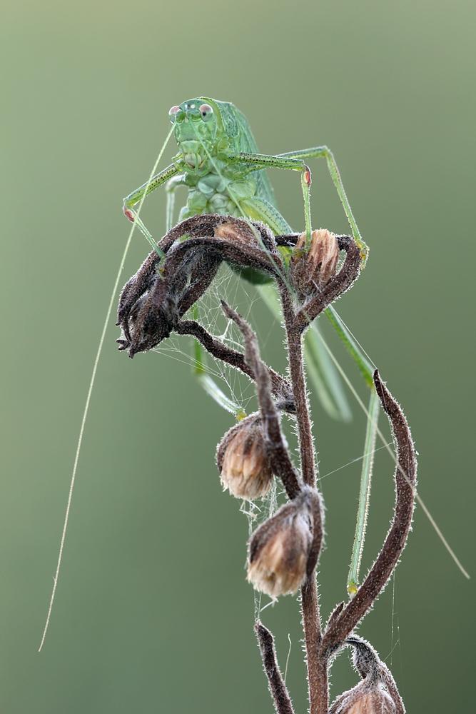 Tettigonia viridissima II by buleria