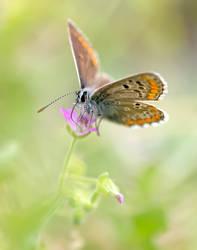 Lycaenidae Sp by buleria