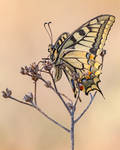 Papilio machaon II