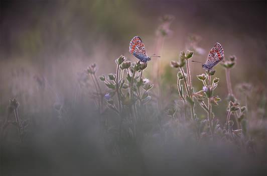 Aricia pair