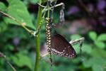 Lepidopteran 2