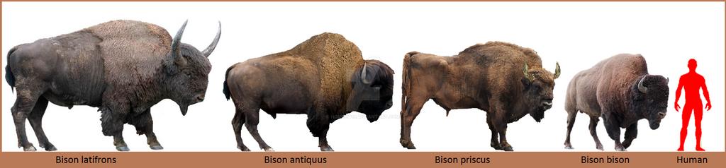 Gaur Size Comparison