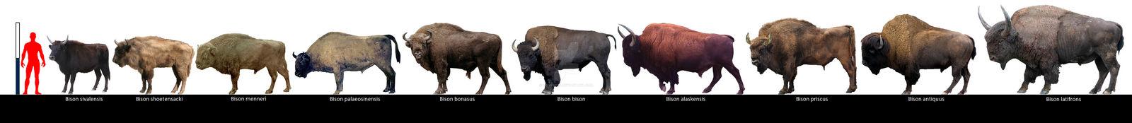 Bison species