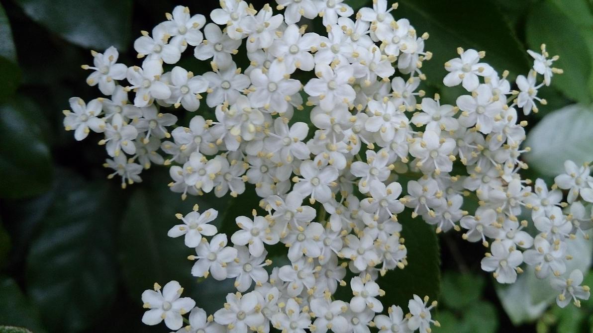 Little white flowers by minicheddarsx on deviantart little white flowers by minicheddarsx mightylinksfo