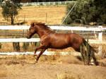 Mustang Galloping - Stock