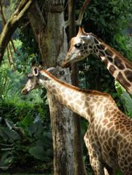 Giraffes by CaptainKatiebug