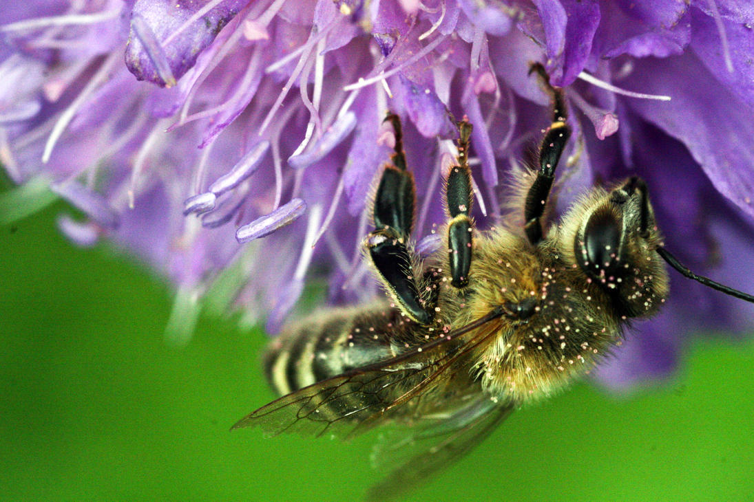 Macro shot of bee by Nygter on DeviantArt