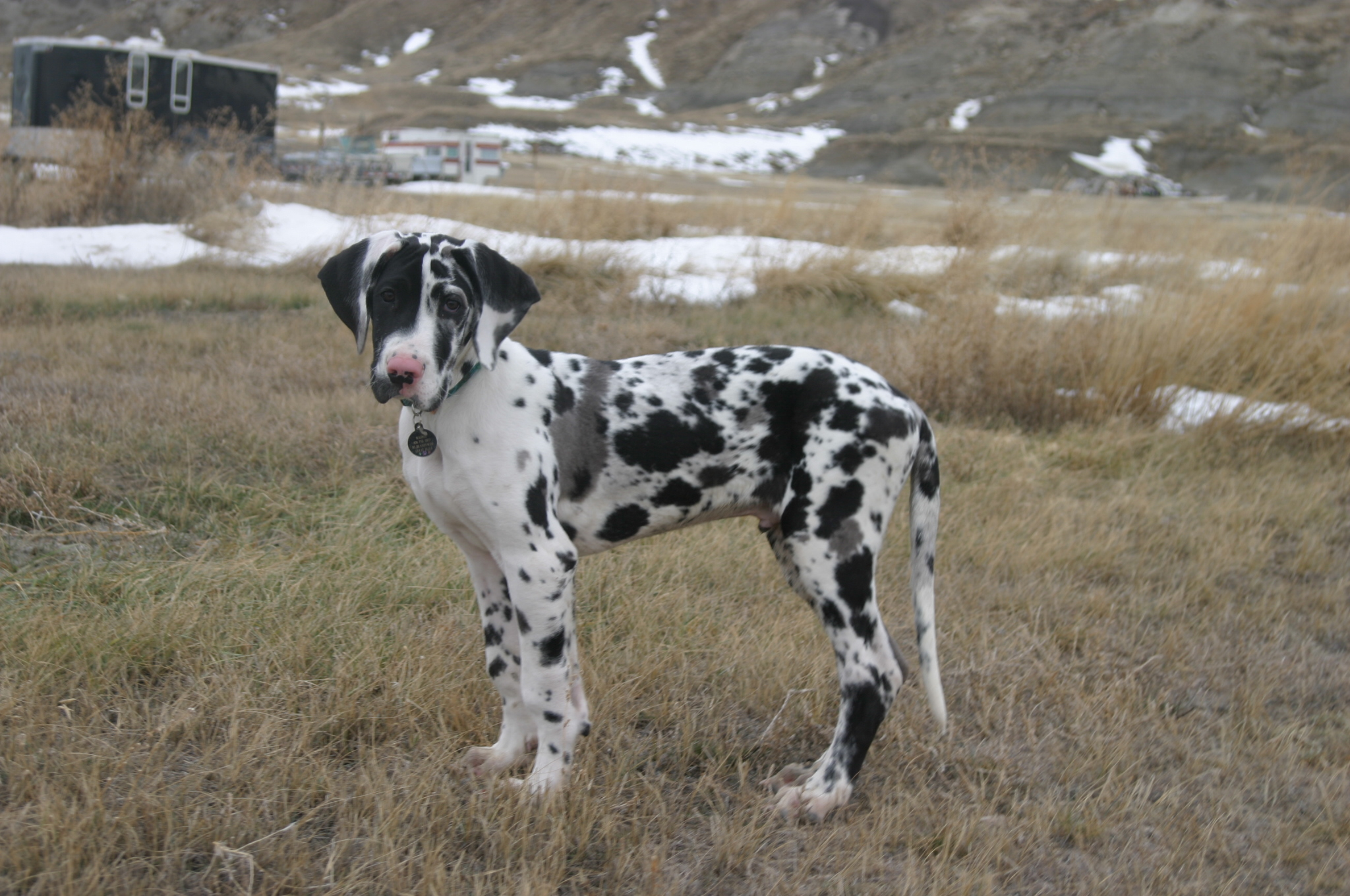 Pin Black Great Danes From Other Countries Greatdaneru on ...