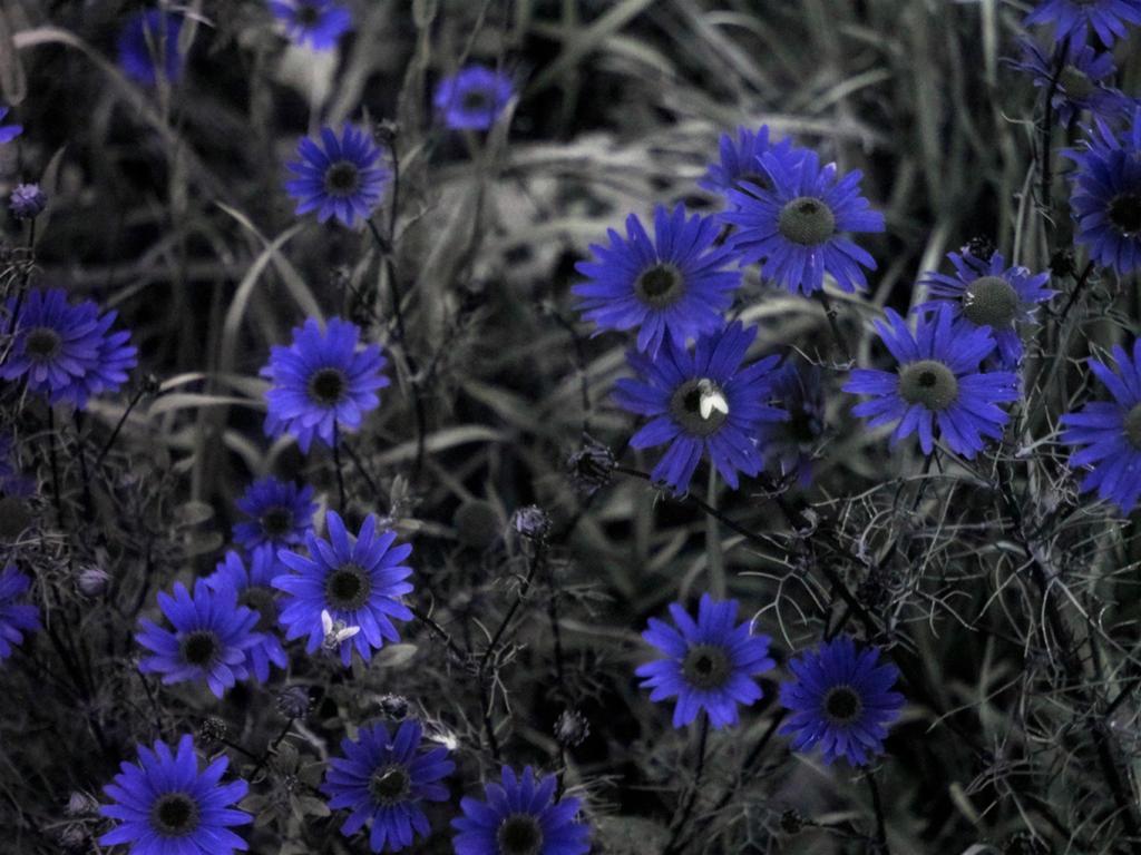 UV Matricaria by JustOldPurpleAngel