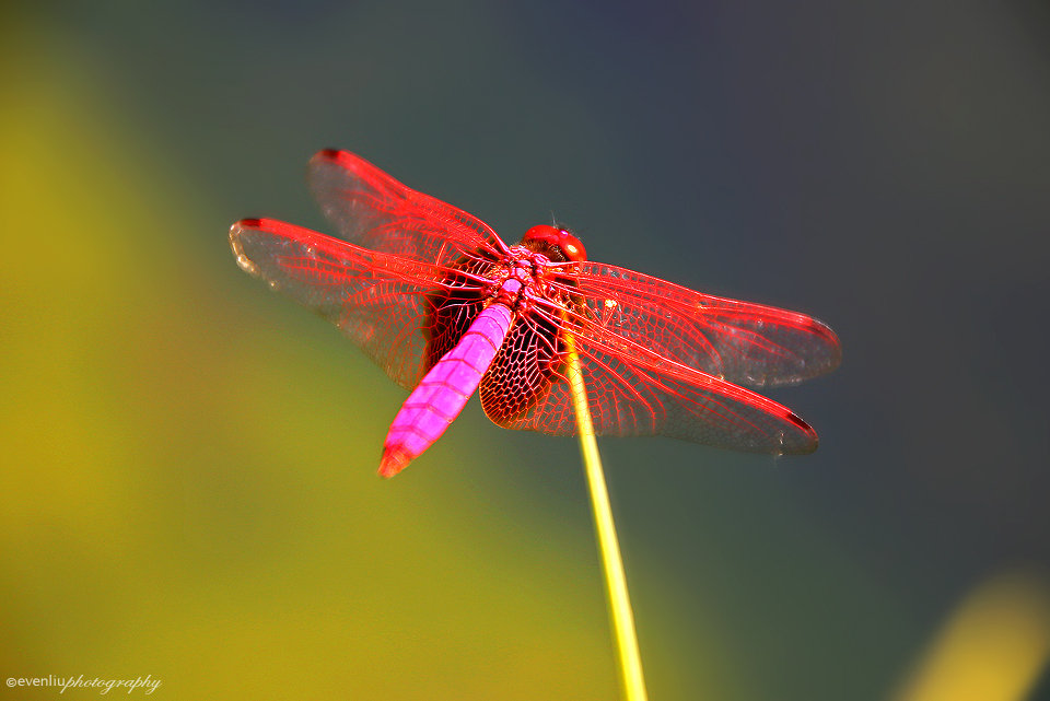 red dragonfly by evenliu
