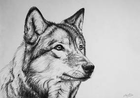 Wolf by AnnaP-Artwork