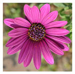 Purple Daisy by ameliasantos