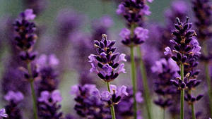 Lavender by montag451