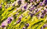 Lavender...Lavender