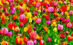 A Time For Tulips