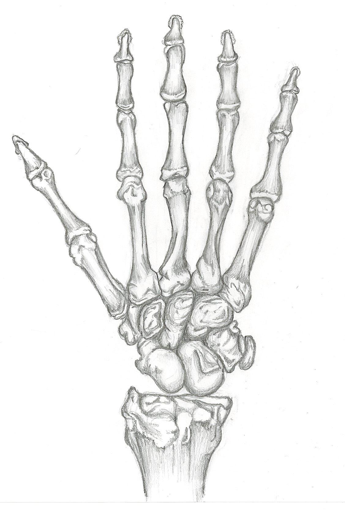 Study of Skeleton Hand by SkeletonOfARose on DeviantArt