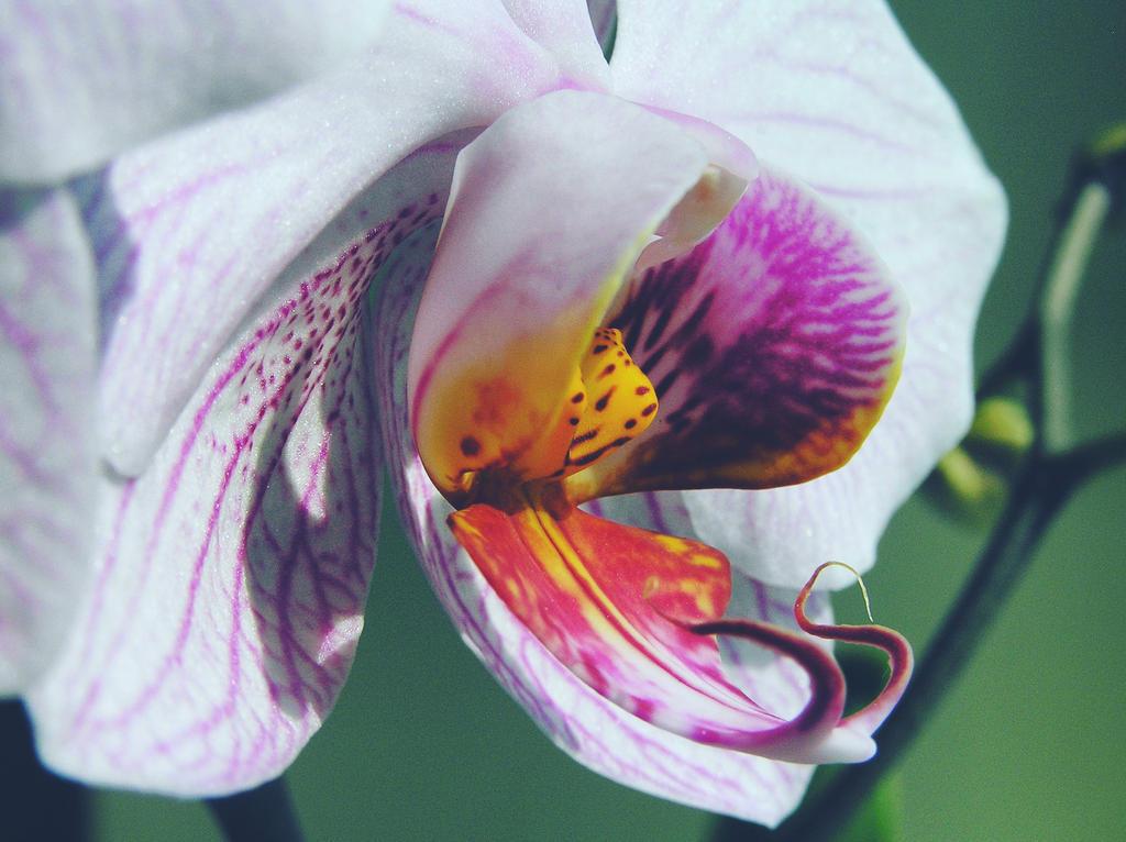orchid by vikatoriuks